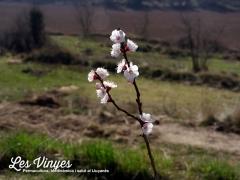 <h5>Flors d&#039;albercoc</h5><p>L&#039;albercoquer és el primer a mostrar la seva majestuositat a Les Vinyes</p>
