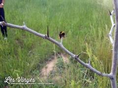 <h5>Insecte empalat</h5><p>Diuen que alguns ocells deixen les seves preses als gínjols per venir a menjar-les després</p>
