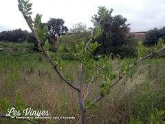 <h5>Ginjoler mandrós</h5><p>El ginjoler és ben mandrós, ha estat l&#039;últim arbre a treure fulles</p>